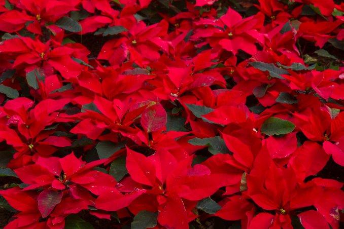 Stella Di Natale Appassita.Stella Di Natale Euphorbia Pulcherrima Fam Euphorbiaceae Donnad
