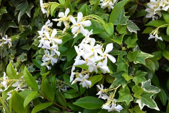 Pianta Sempreverde Con Fiori Bianchi.Gelsomino Jasminum Fam Oleaceae Donnad