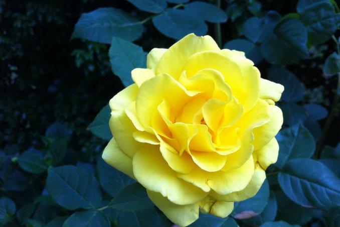 rosa fiore pianta curare innaffiare guardino consigli concimare potatura