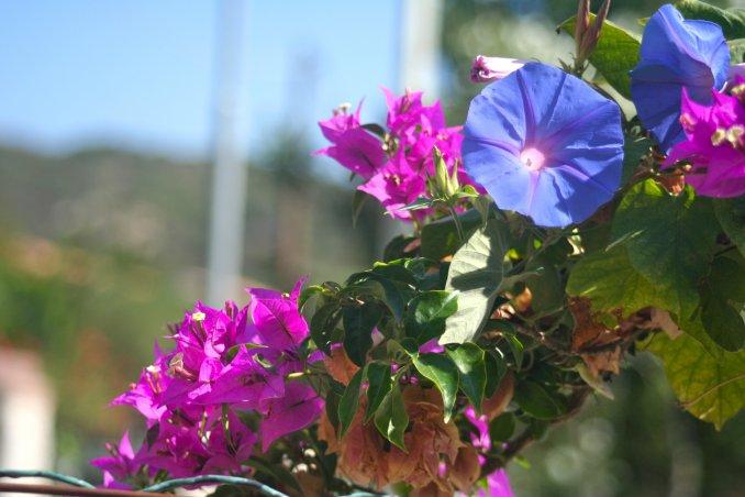 Buganvilla Buganvillea Pianta Mediterranea Clima Mite Curare Arbusto  Rampicante Pollice Verde Fiori Colori Intensi