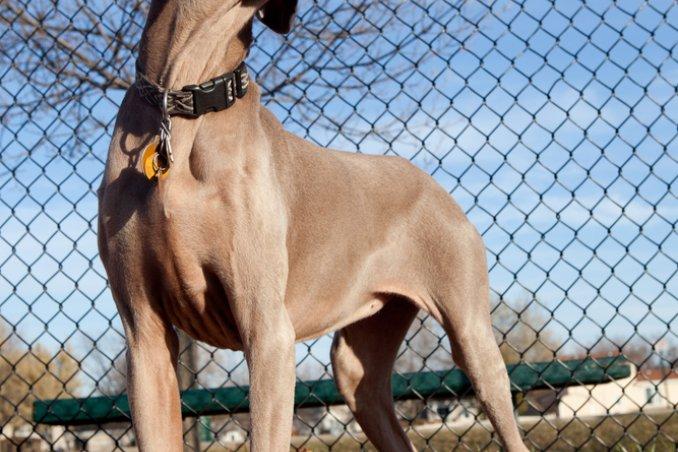 Bracco di Weimar, cane, descrizione