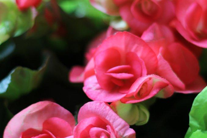 begonia-piante-foglie