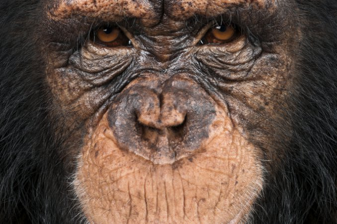 scimmia, primate, scimmione, scimpanzé sogno