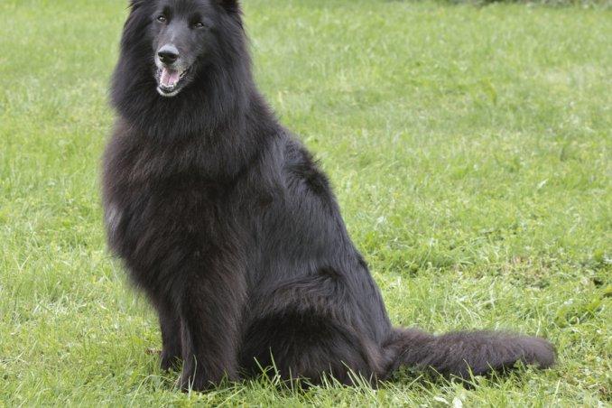 Pastore belga Tervueren cane descizione