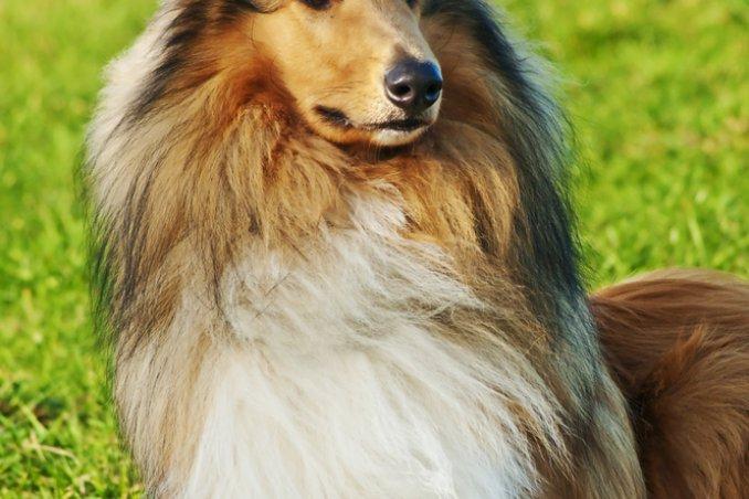 Pastore delle shetland cani da pastore donnad for Arredamento pastore