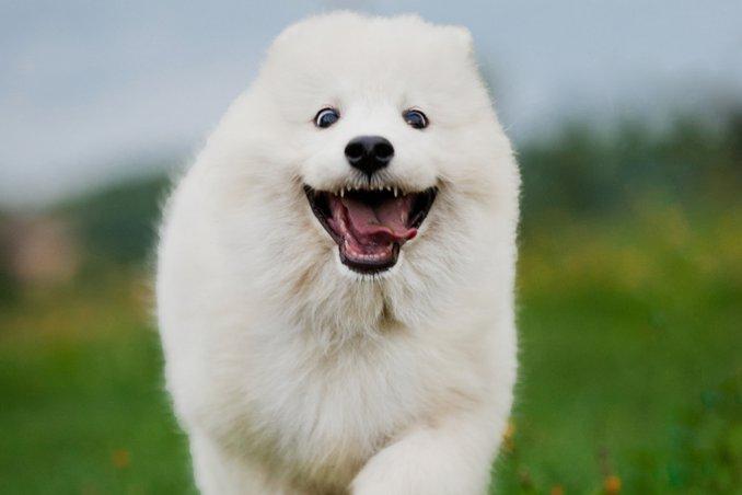 Samoiedo - Cani da lavoro