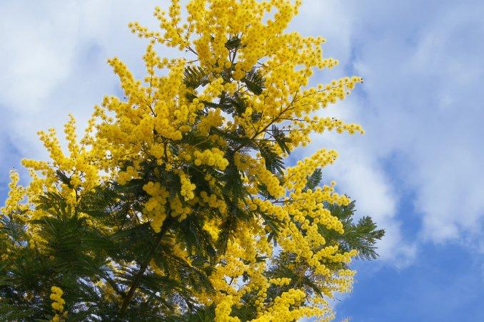 mimosa-pianta-giardino