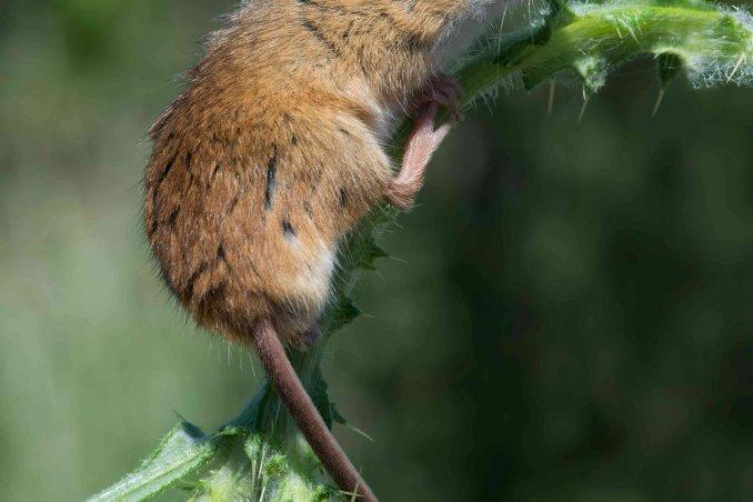 oroscopo cinese il topo