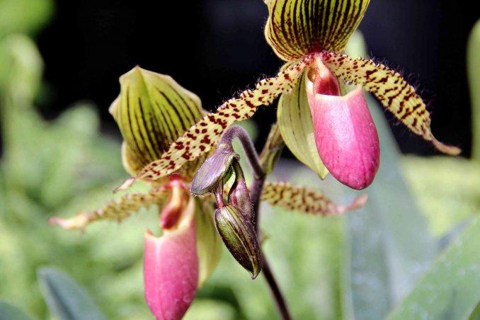 Come fare rifiorire un 39 orchidea donnad - Come curare un orchidea in casa ...