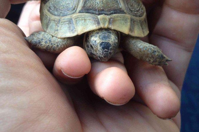 come allevare le tartarughe di terra in giardino