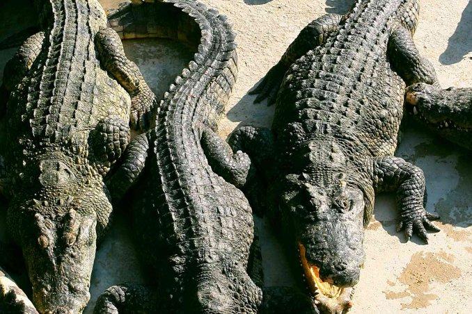 Sognare Dei Coccodrilli Significato E Interpretazioni Donnad