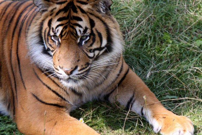 Sognare Una Tigre Cosa Vuol Dire Donnad