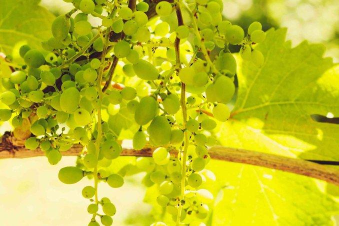 sognare uva bianca cosa significa