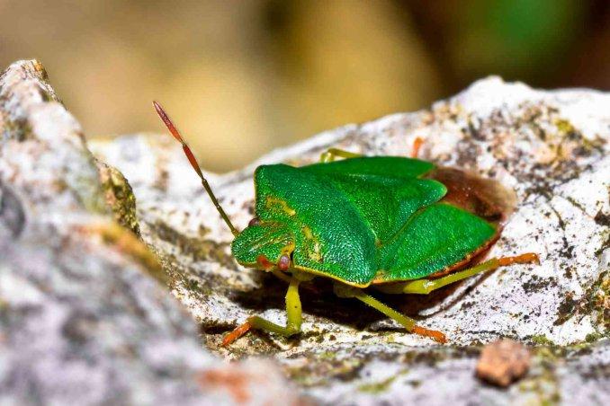 Come eliminare le cimici trucchi e prodotti per for Cimice insetto