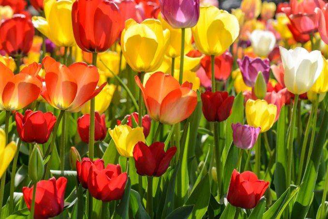 Fiori Tulipani.Come Piantare E Conservare I Bubli Di Tulipano Consigli Utili