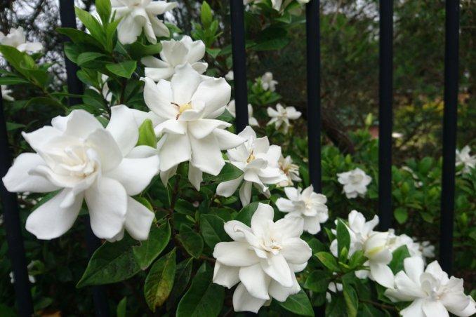 Come coltivare la gardenia senza foglie giallecoltivare la - Gardenia pianta da giardino ...
