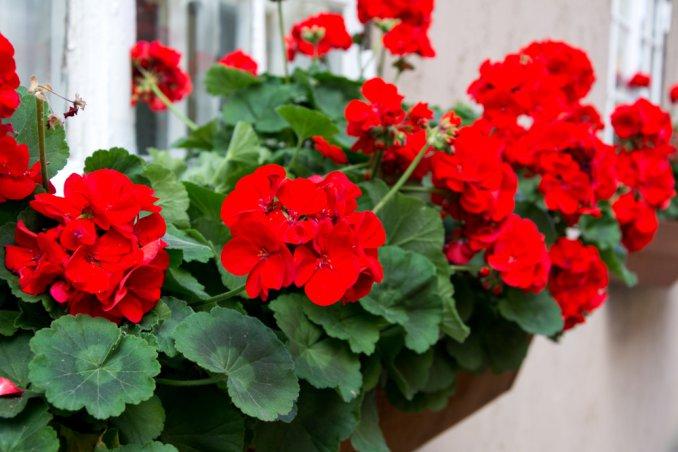 coltivare gerani, coltivare gerani balcone