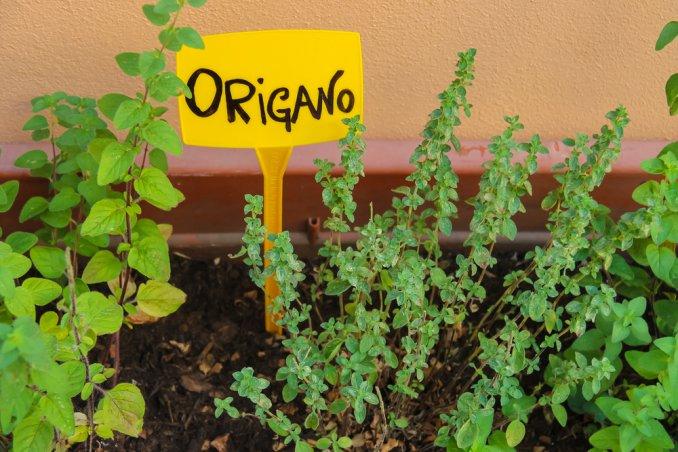 coltivare l 39 origano con facilit 7 consigli donnad