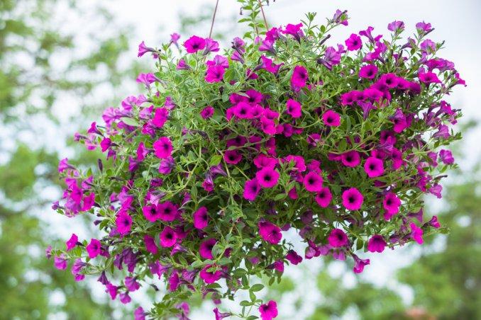 fiori balcone pendenti, fiori balcone estivi