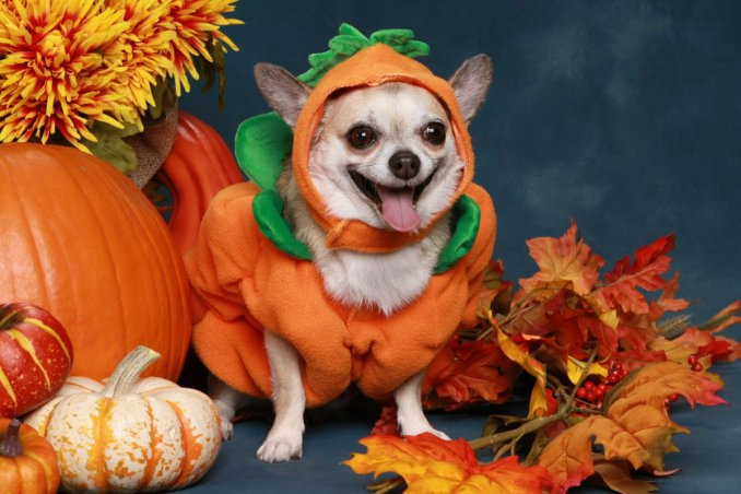 halloween, costumi, animali
