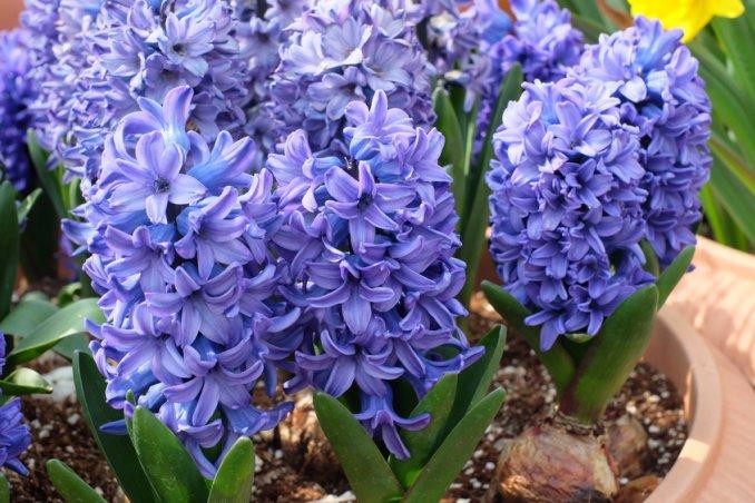Bulbi In Vaso Di Vetro.Giacinti In Vaso 5 Consigli Per La Coltivazione Donnad