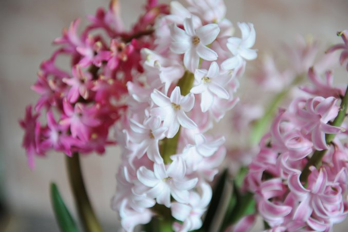 bulbi giacinto forzatura, coltivare giacinti