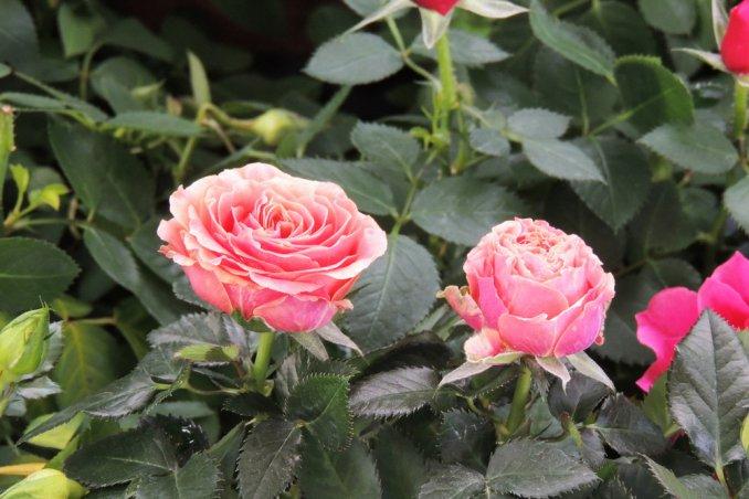 roselline vaso cure, coltivare rose miniatura