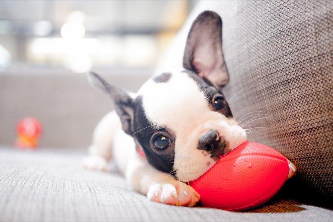 Cucciolo Di Cane Che Morde Tutto Come Educarlo Correttamente Donnad