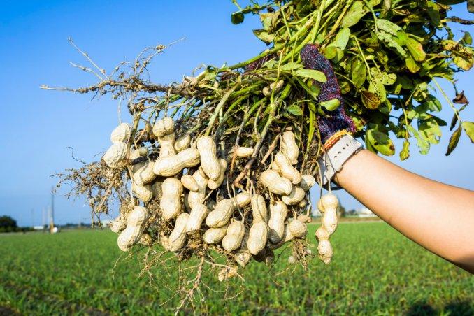 Tutti i consigli per coltivare le arachidi donnad for Pianta noccioline