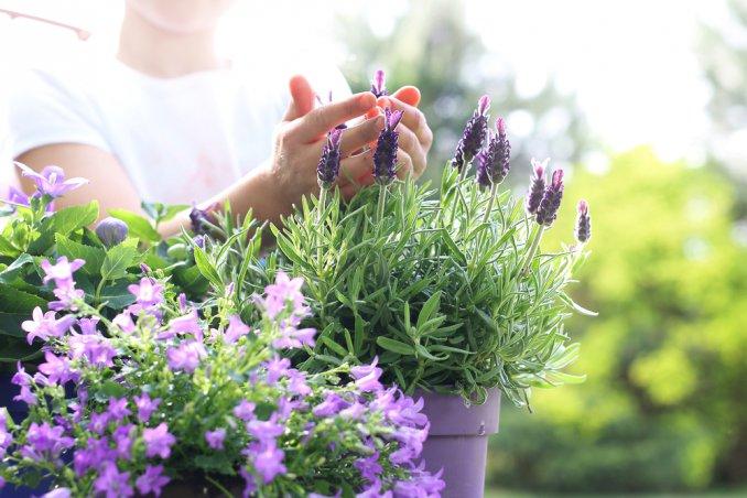 coltivare lavanda in vaso, coltivare lavanda balcone, coltivare lavanda, coltivare lavanda casa