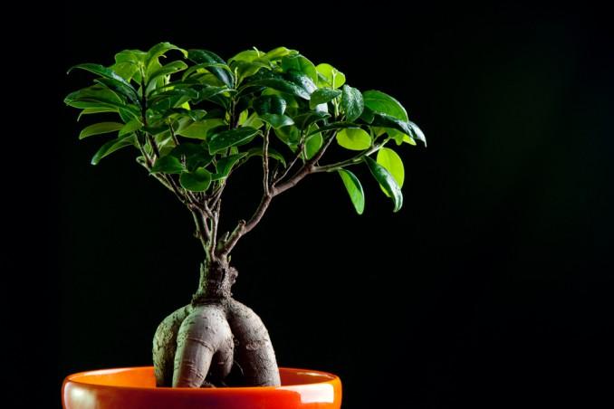 bonsai ginseng cura
