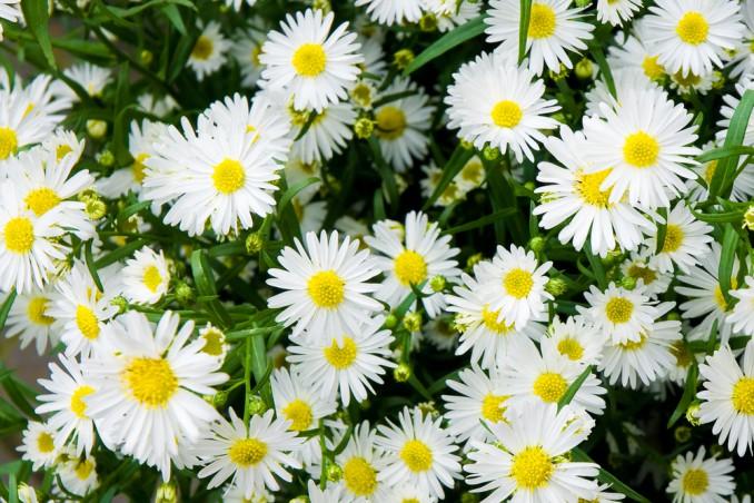 fiori da piantare a settembre