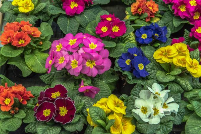 fiori perenni da vaso