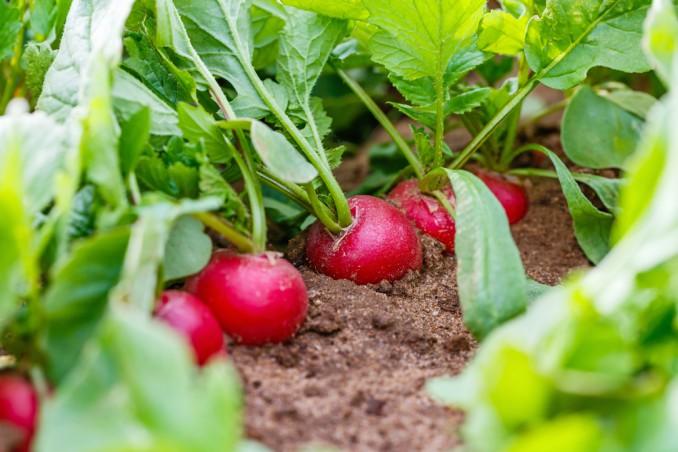 come coltivare ravanelli in campo, coltivare ravanelli, coltivare ravanelli orto