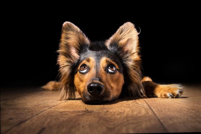 orecchie cane postura