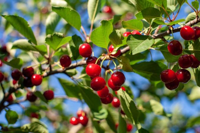 come coltivare ciliegie, coltivazione ciliegie
