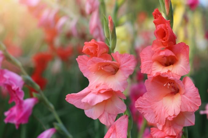 come coltivare gladioli, coltivazione gladioli