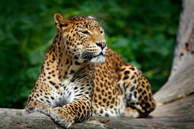 animali solitari, niente branco, chi sono