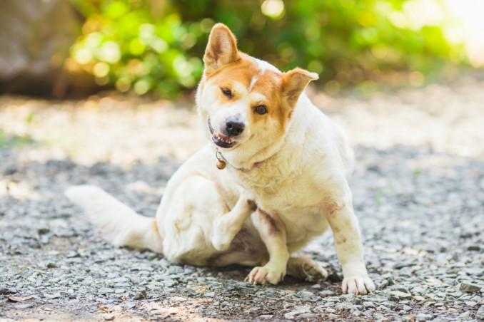cane si gratta, cause, che cosa fare