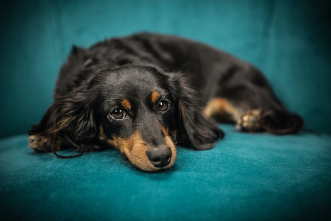 cane, divano, motivi