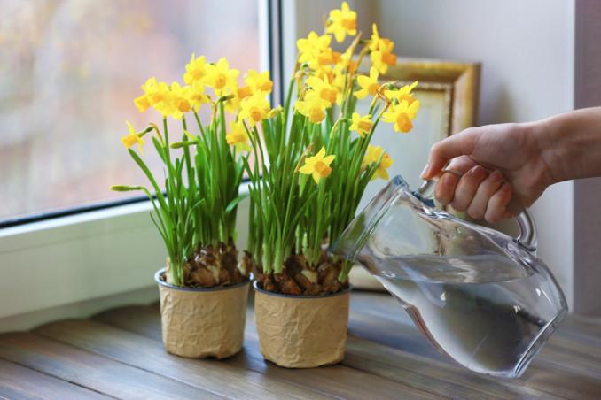 come coltivare narcisi vaso, coltivare i narcisi