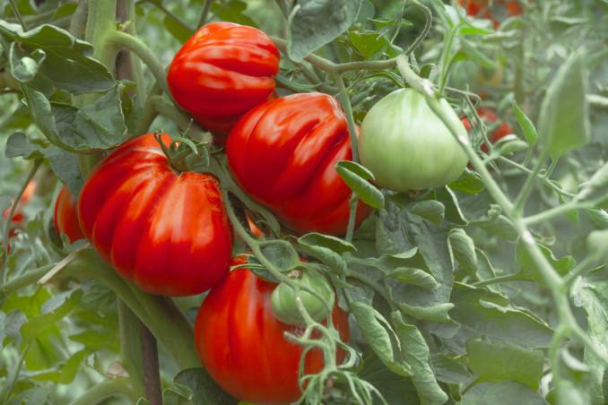 come coltivare pomodoro cuore bue, come coltivare pomodoro bue