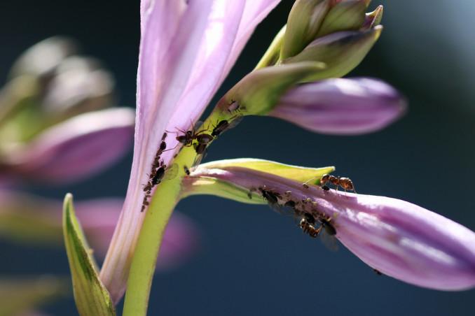 come eliminare formiche piante, formiche piante