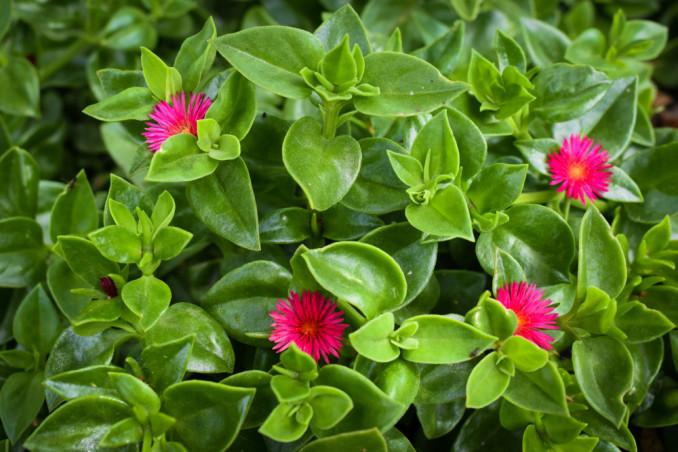 piante succulente immagini