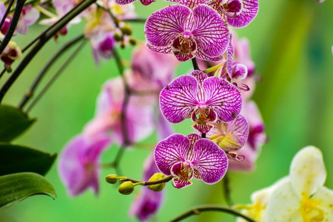 orchidea phalaenopsis cura, curare orchidea phalaenopsis