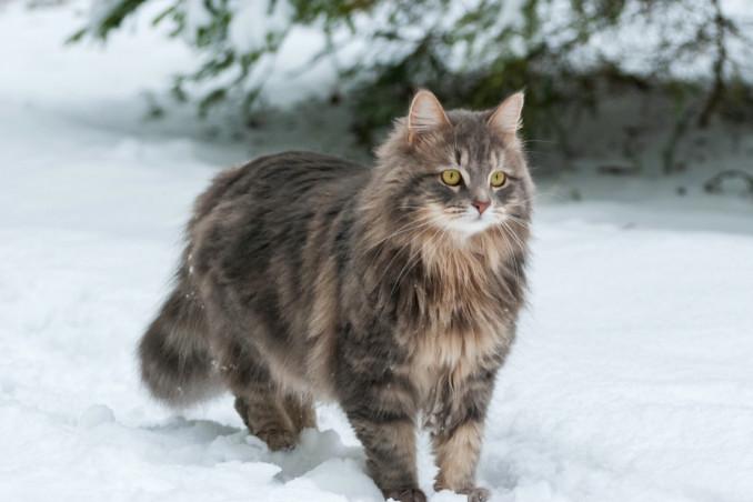 gatti, razze, pelo