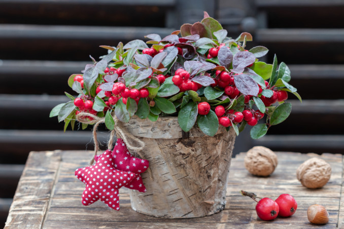 piante natalizie bacche rosse, piante natale bacche rosse