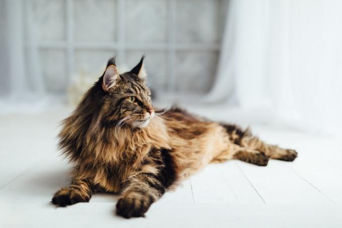 gatti, razze, appartamento