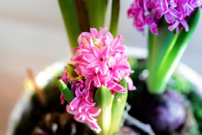 fiori primaverili profumati, fiori primavera profumati