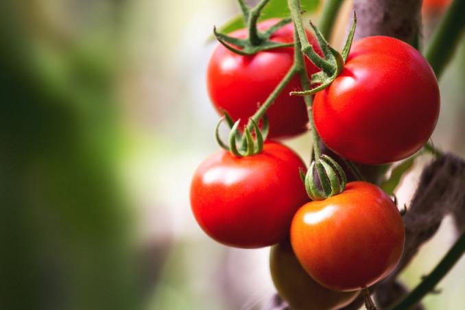 Quando piantare i pomodori